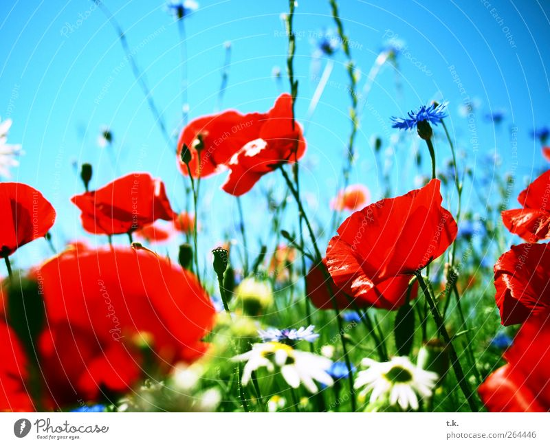 poppy landscape Nature Plant Cloudless sky Sunlight Summer Beautiful weather Flower Blossom Poppy field Cornflower Marguerite Meadow Blossoming Fragrance Bright