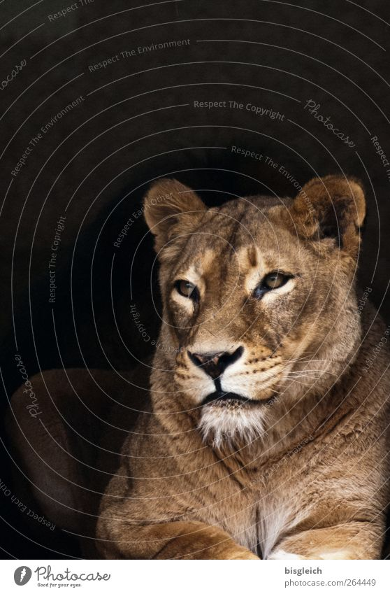 Beautiful Animal Calm Eyes Head Brown Lie Soft Animal face Serene Watchfulness Lion Attentive Cat Lioness Dark background