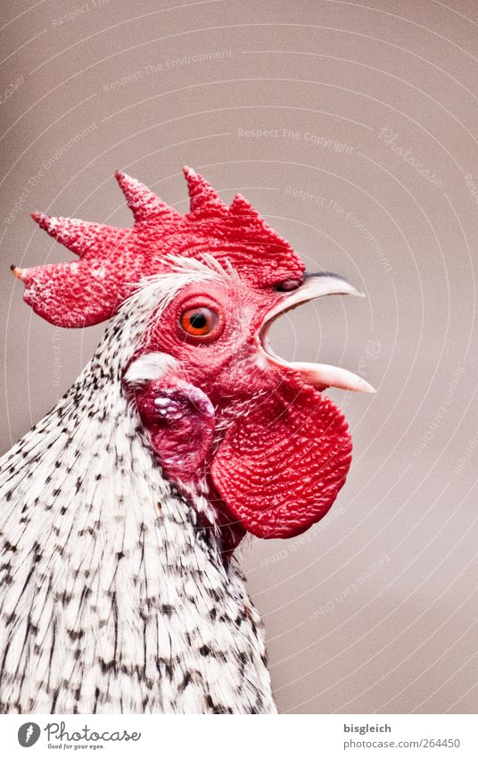 300!!! Pet Farm animal Bird Animal face Rooster Cockscomb 1 Scream Red White Beak Loud Colour photo Exterior shot Deserted Copy Space top Neutral Background Day