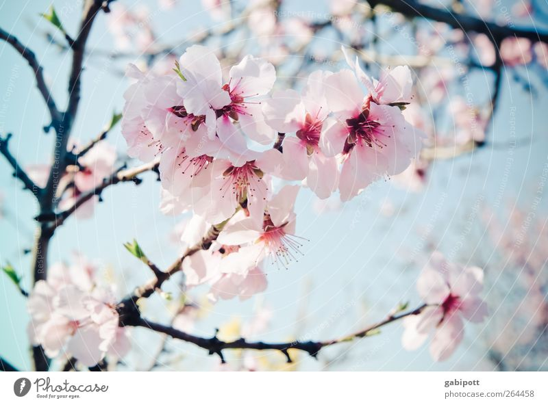Almond paste and lightness Environment Nature Plant Sky Spring Flower Blossom Exotic Almond blossom Blossoming Fragrance Beautiful Blue Pink Spring fever