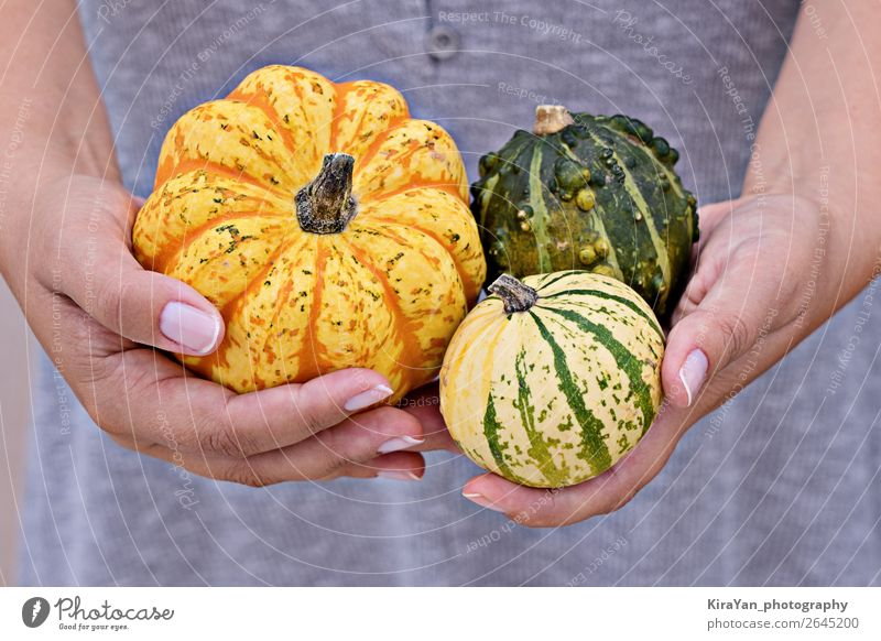 Happy Thanksgiving greeting card concept Vegetable Lifestyle Decoration Hallowe'en Woman Adults Hand Nature Autumn Small Yellow Pumpkin fall background orange