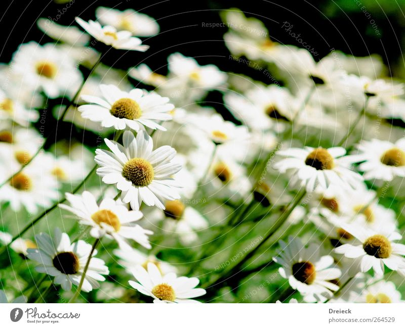 smile Environment Nature Plant Summer Flower Blossom Foliage plant Wild plant Daisy Garden Park Meadow Friendliness Bright Beautiful Soft Yellow Green White