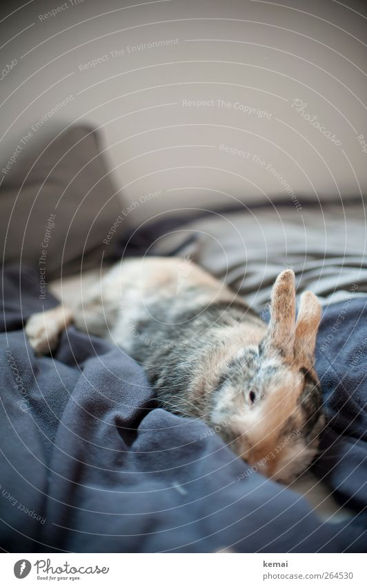tired warrior Flat (apartment) Bed Bedroom Animal Pet Pelt Hare & Rabbit & Bunny pygmy hare rabbit Pygmy rabbit 1 Relaxation Lie Sleep Dream Cute Fatigue