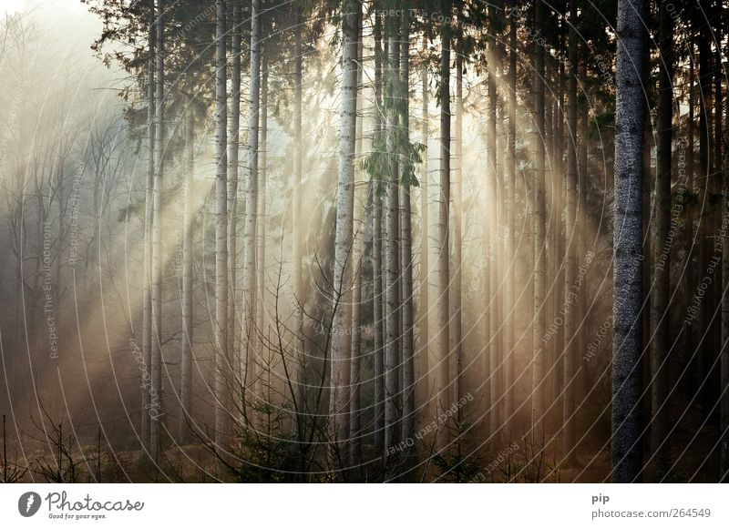 Nature Tree Plant Sun Calm Forest Environment Bright Fresh Beautiful weather Fir tree Tree trunk Spruce Coniferous forest Sunrise Sunset
