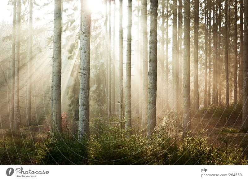 Nature Tree Plant Sun Calm Forest Environment Bright Fresh Beautiful weather Fir tree Tree trunk Brilliant Spruce Undergrowth Coniferous forest