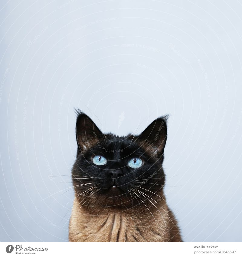 Cat with text space Animal Pet 1 Curiosity Background picture Siamese cat blue eyes Gaze Cute Looking Watchfulness Colour photo Interior shot Studio shot