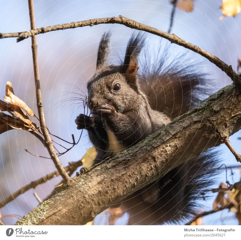 Eating squirrel in a tree Nature Animal Sky Sunlight Beautiful weather Tree Forest Wild animal Animal face Pelt Claw Paw Squirrel Rodent Ear Nose Muzzle 1