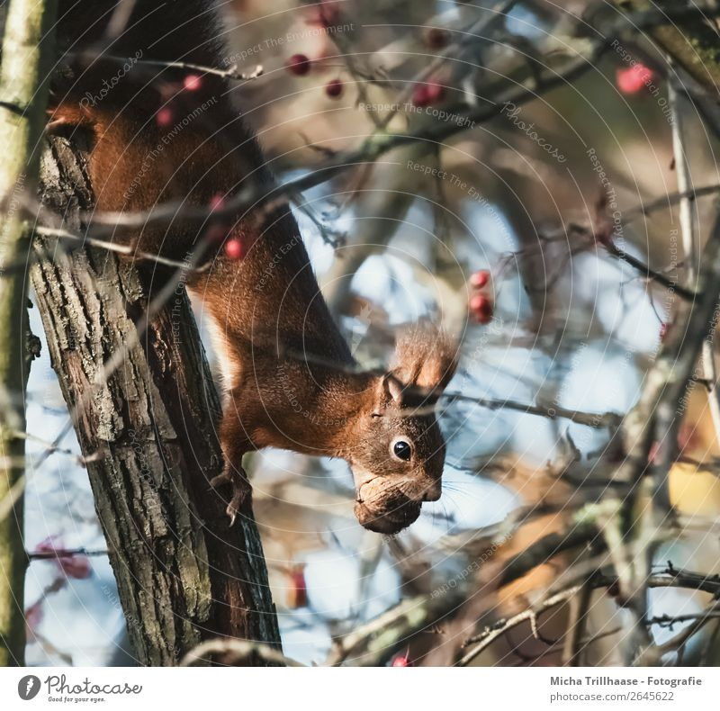 Squirrel with nut in mouth Fruit Nut Walnut Nature Animal Sunlight Beautiful weather Tree Bushes Wild animal Animal face Pelt Claw Paw Rodent Muzzle 1 To feed