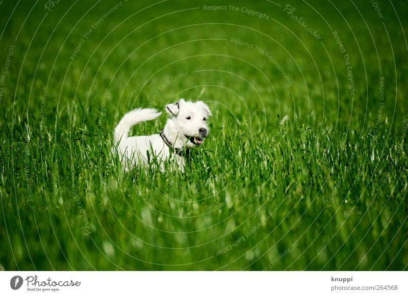 Frosty V Sun Sunlight Spring Grass Meadow Field Animal Pet Dog 1 Baby animal To enjoy Green White Colour photo Multicoloured Exterior shot Deserted
