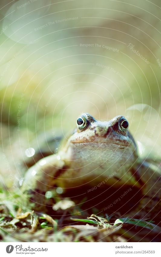 kiss me i'm a frog Animal Wild animal Frog Painted frog 1 Brown Green Frog Prince Looking into the camera Friendliness Curiosity Colour photo Multicoloured