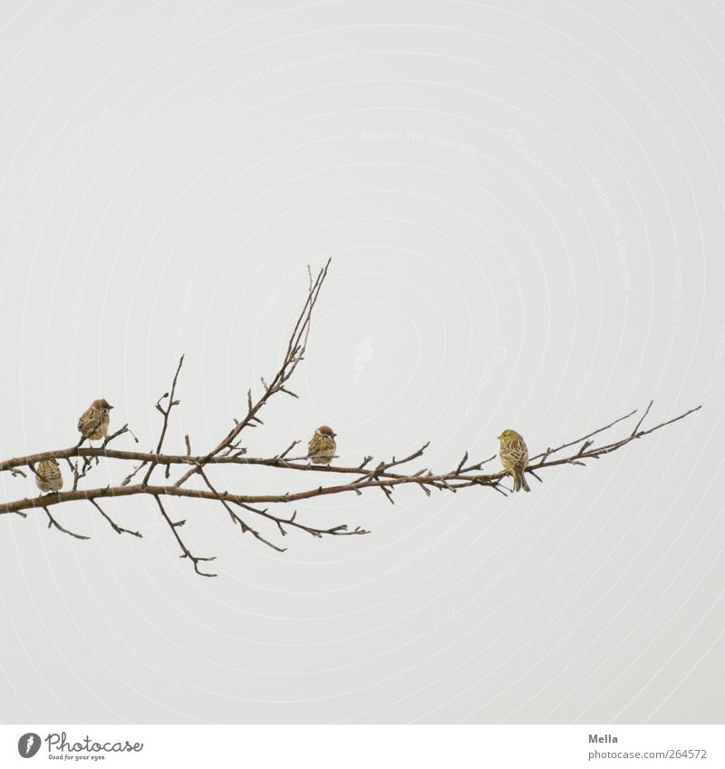 tongue in cheek Environment Nature Air Plant Branch Animal Bird Sparrow Finch 4 Group of animals Crouch Looking Sit Free Together Small Natural Cute Gloomy Gray