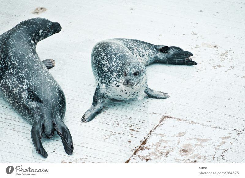ringed seals Animal Wild animal 2 Pair of animals Lie Funny Curiosity Cute Harbour seal Seals Animal protection Head Footbridge Wooden floor Ringed seal Fin