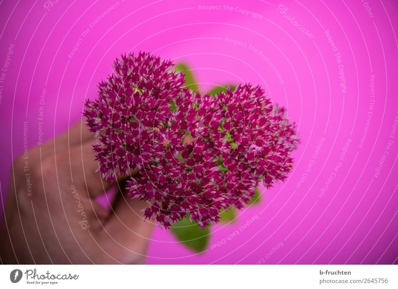 My flower heart Hand Fingers Plant Flower Blossom Bouquet Select Touch To hold on Fresh Trashy Pink Joie de vivre (Vitality) Sympathy Friendship Love