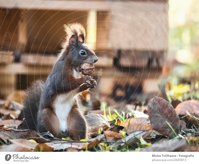 Standing squirrel with nut in mouth Fruit Nut Walnut Nature Animal Sunlight Beautiful weather Leaf Autumn leaves Wild animal Animal face Pelt Claw Paw Squirrel
