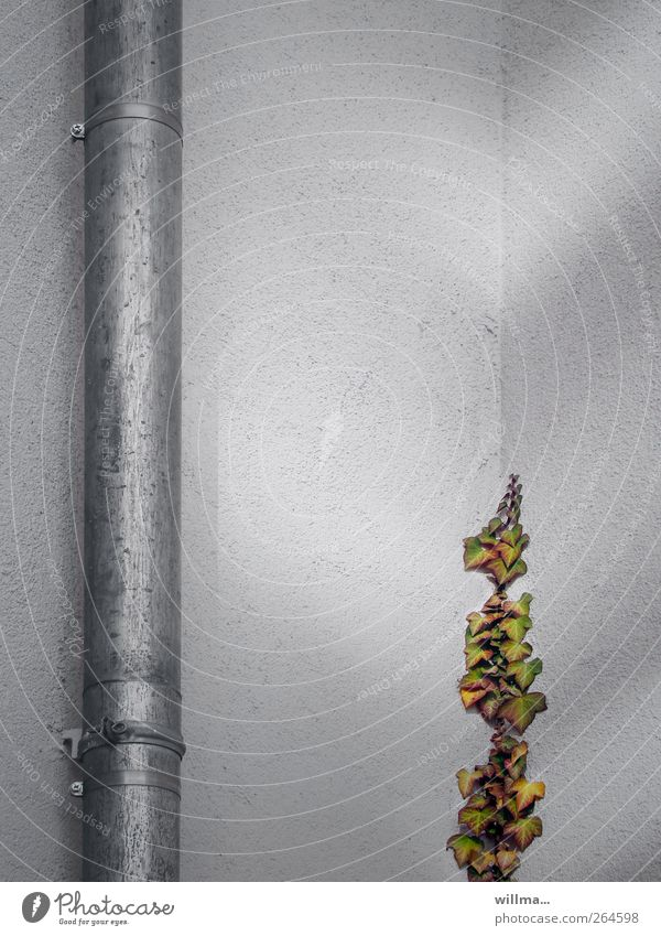 up & down Plant Ivy Wall (barrier) Wall (building) Eaves Iron-pipe Downspout house corner Growth Gray Beginning Hope Upward Downward Rendered facade Tendril
