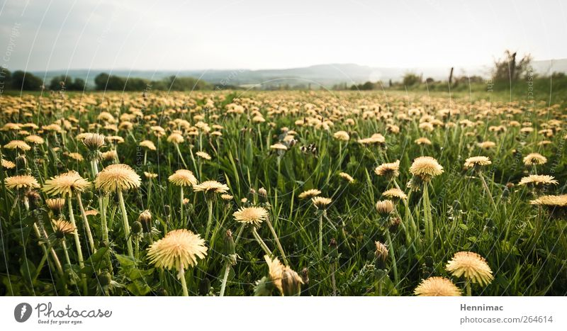 Rebellion of the dandelions. Environment Nature Landscape Plant Sky Horizon Spring Climate Flower Blossom Wild plant Meadow Yellow Green Spring fever Power