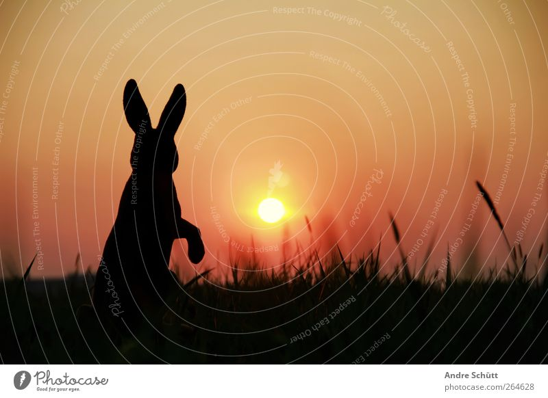 Nature Sun Joy Animal Black Yellow Environment Grass Gold Bushes Easter To enjoy Hare & Rabbit & Bunny To feed Crouch Easter Bunny