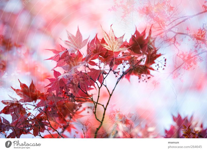 Nature Red Leaf Autumn Spring Pink Natural Autumnal Maple leaf Maple tree Autumnal colours Twigs and branches Spring fever Maple branch