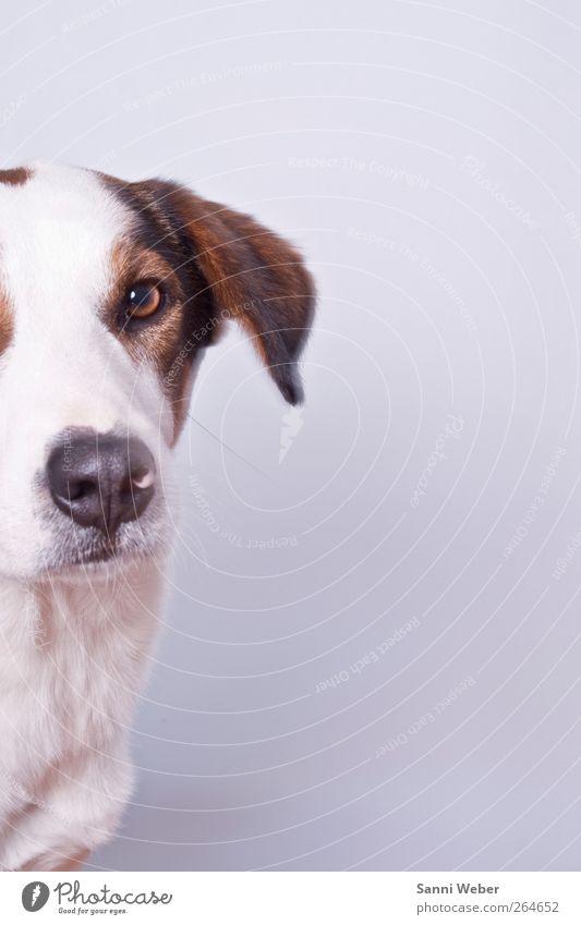 ängstlicher Rebell Dog White Beautiful Animal Love Think Elegant Wild Esthetic Happiness Good Cool (slang) Cute Uniqueness Pelt Smiling