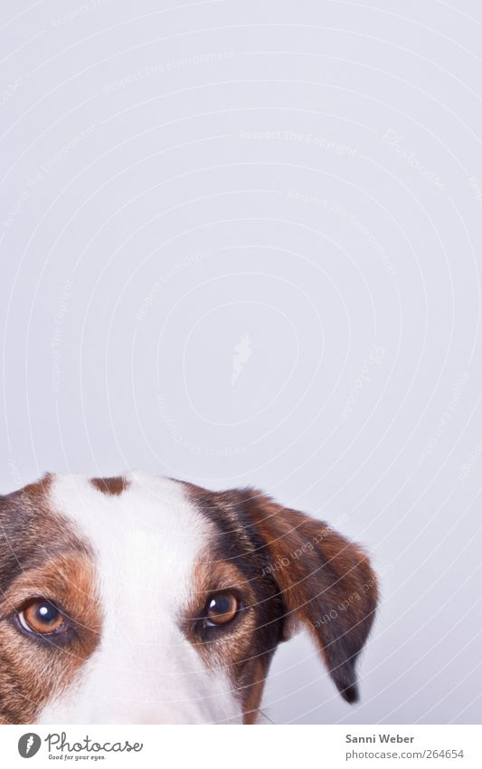 ängstlicher Rebell Dog White Animal Esthetic Animal face Pet Section of image Partially visible Watchdog Detail of face Puppydog eyes Dog eyes Bright background