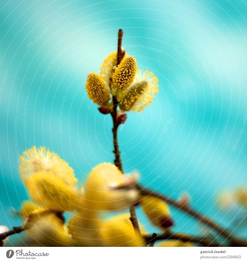 veronica Environment Nature Plant Spring Blossoming Fragrance Blue Yellow Turquoise Colour photo Multicoloured Exterior shot Close-up Copy Space left