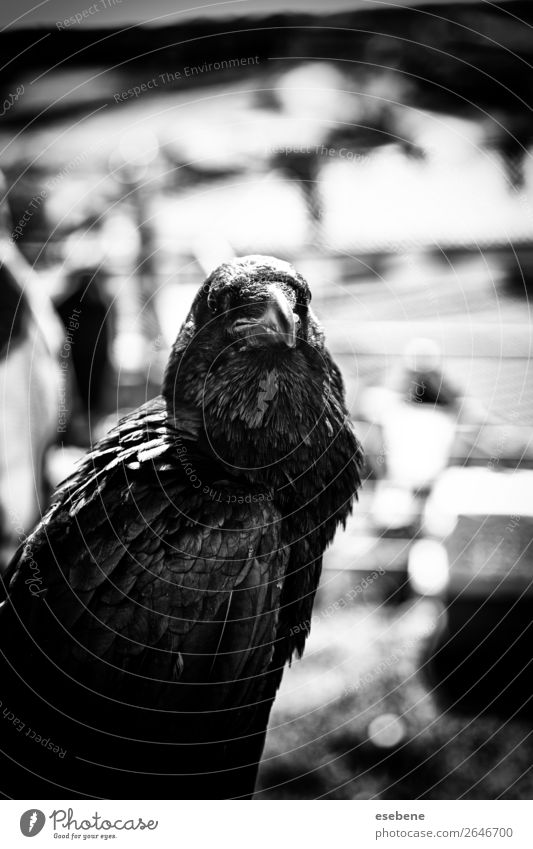 Black crow in nature, superstition and witchcraft Nature Animal Park Dead animal Bird Flying Stand Dark Bright Wild White Crow raven isolated corvus wildlife