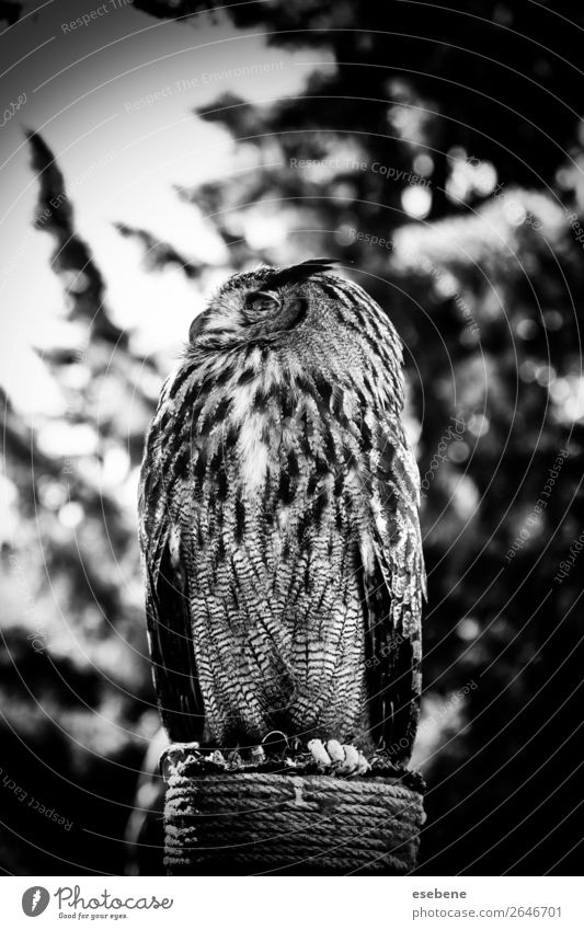 Royal owl in a display of birds of prey, power and size Beautiful Face Nature Animal Bird Observe Wild Brown Yellow Gray Red Black White Wisdom Owl Eagle Beak