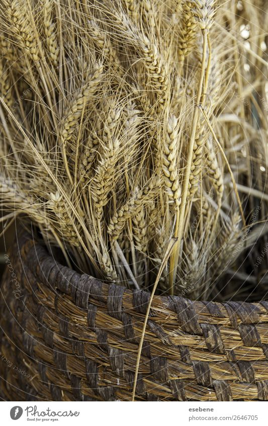 Wicker basket with dry wheat Bread Summer Easter Environment Nature Landscape Plant Wood Growth Fresh Natural Yellow Gold White Wheat Basket background