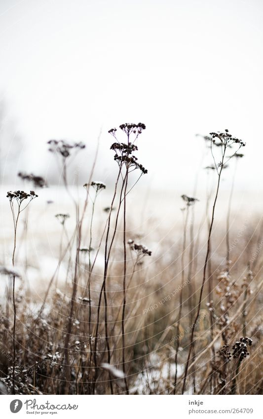 Attention, they're still coming, the ice saints! Nature Landscape Plant Sky Winter Climate Ice Frost Snow Flower Wild plant Common Yarrow Park Meadow Field