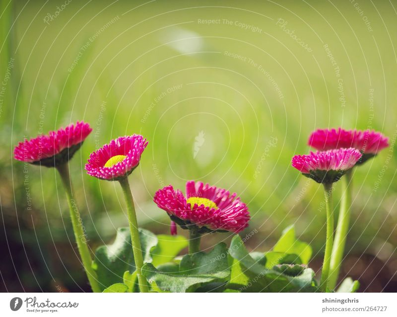 Nature Green Plant Yellow Spring Garden Pink Multiple Growth Stand Blossoming Attachment Joie de vivre (Vitality) Daisy Spring fever