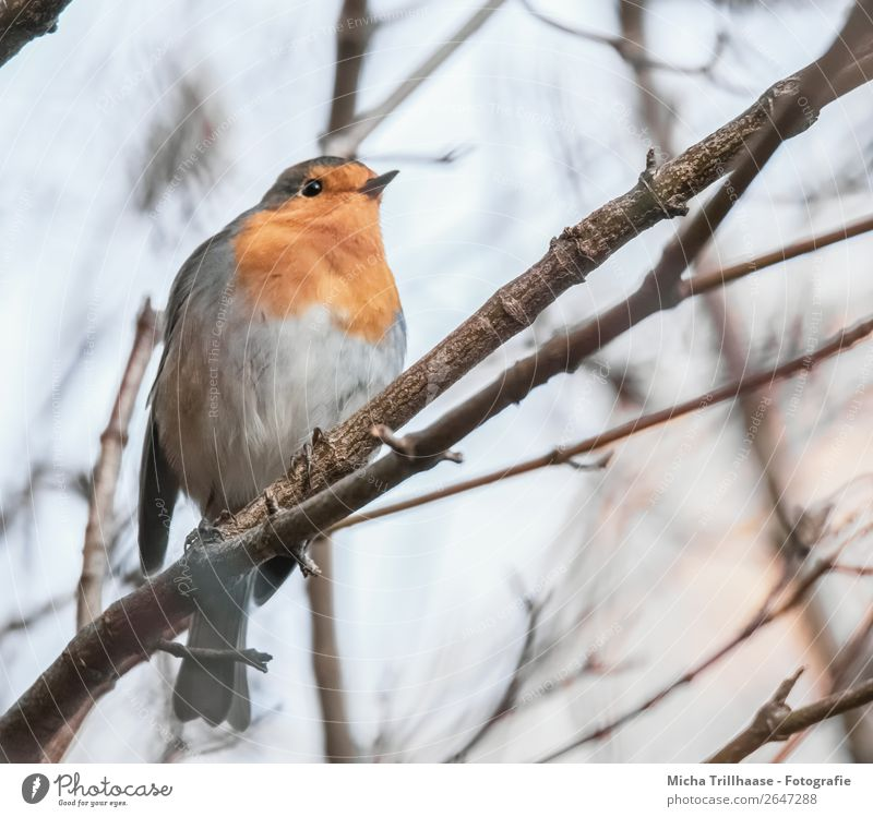 Robin in a tree Nature Animal Sky Sunlight Beautiful weather Tree Wild animal Bird Animal face Wing Claw Robin redbreast Feather Beak Eyes 1 Observe Glittering