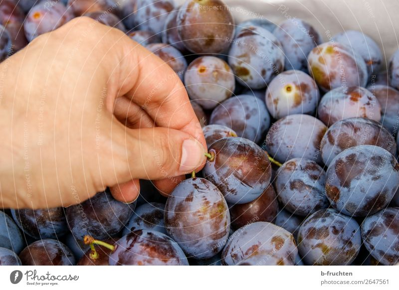 plum harvest Food Fruit Organic produce Vegetarian diet Gardening Agriculture Forestry Hand Fingers Autumn Work and employment To hold on Fresh Healthy Blue