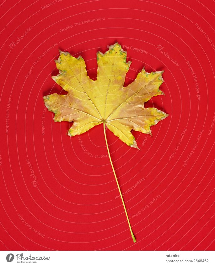 one yellow dry leaf of a maple on a red background Nature Plant Autumn Leaf Yellow Gold Red Moody Colour Autumnal copy fall frame November October orange