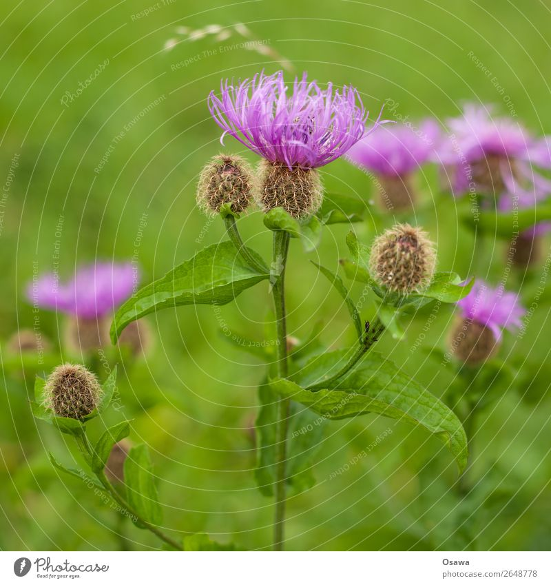 thistle Environment Nature Plant Summer Flower Leaf Blossom Foliage plant Wild plant Thistle Garden Park Meadow Green Violet Pink Complementary colour