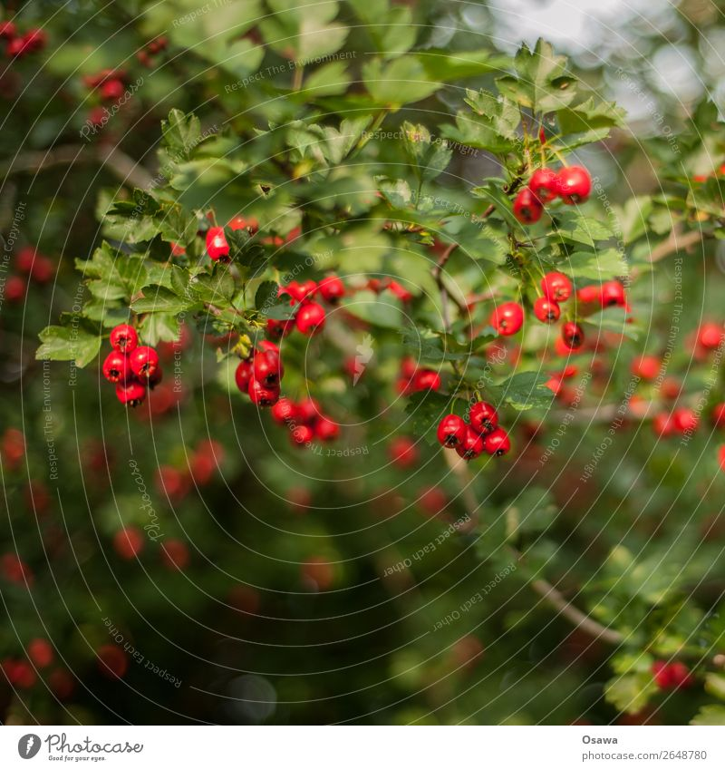 Red Berries Nature Plant Summer Bushes Garden Park Forest Green Berry bushes Leaf Fruit Rawanberry Contrast Complementary colour Colour photo Exterior shot