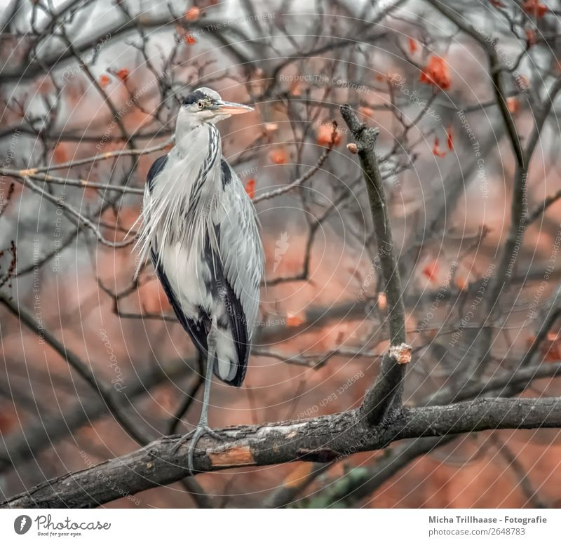 Heron in an autumn tree Nature Animal Sunlight Autumn Bad weather Tree Wild animal Bird Animal face Wing Claw Grey heron Beak Feather 1 Observe Looking Stand