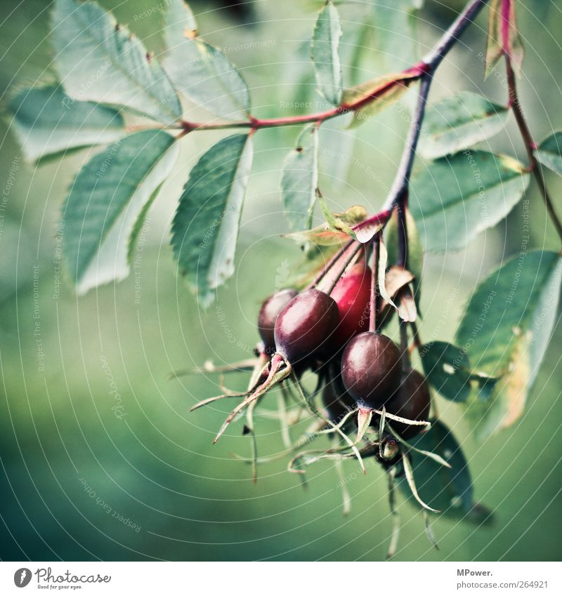 a bunch of rose hips Environment Nature Plant Animal Foliage plant Agricultural crop Green Red Fruit Rose hip Leaf Healthy Round Branch Vitamin-rich Tea Thorny