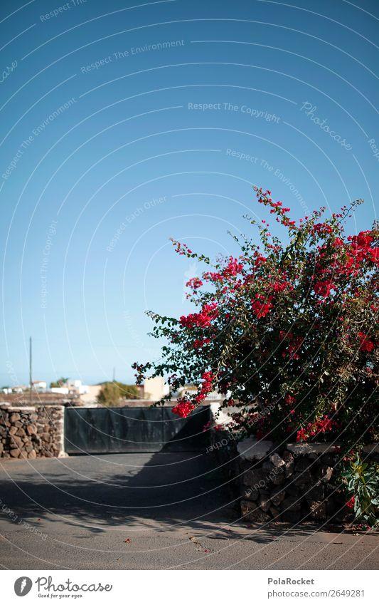 #AS# Weeds mediterranean Plant Esthetic Fuerteventura Red Bougainvillea Spain Mediterranean Blue sky Colour photo Multicoloured Exterior shot Detail