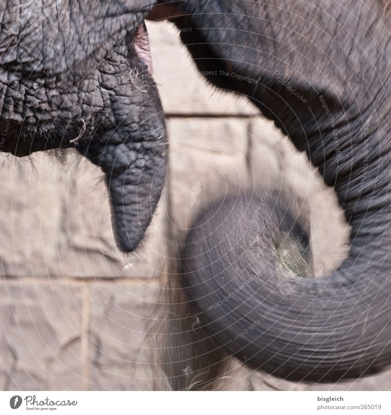 elephant feeding Nutrition Animal Wild animal Zoo Elephant elephant's trunk Trunk 1 To feed Feeding Brown Gray Contentment Colour photo Subdued colour