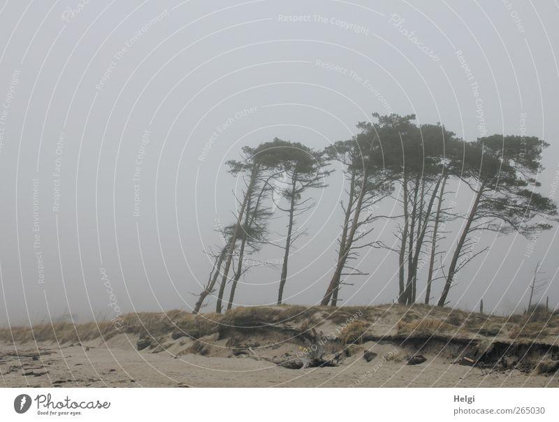 smoke plane Environment Nature Landscape Plant Sky Weather Fog Tree Grass Pine Coast Beach Baltic Sea Darss Western Beach Wind cripple Stand Growth Authentic