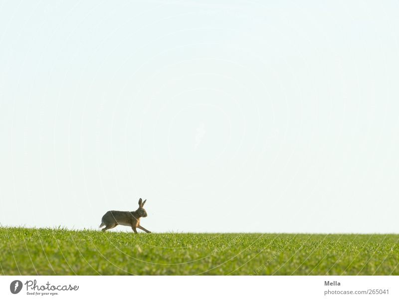 Jump, jump ... Easter Easter Bunny Environment Nature Landscape Animal Spring Grass Meadow Field Wild animal Hare & Rabbit & Bunny 1 Movement Walking Free