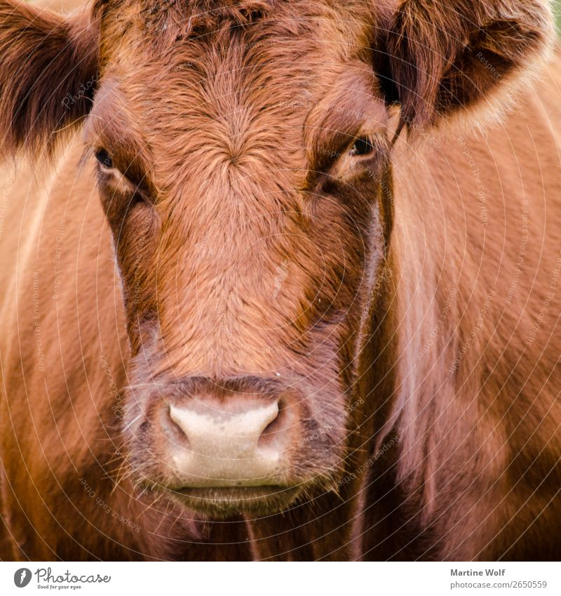 Muhhh² Environment Nature Cow 1 Animal Observe Brown Europe Gorß Great Britain Scotland Looking equanimity Colour photo Deserted Animal portrait
