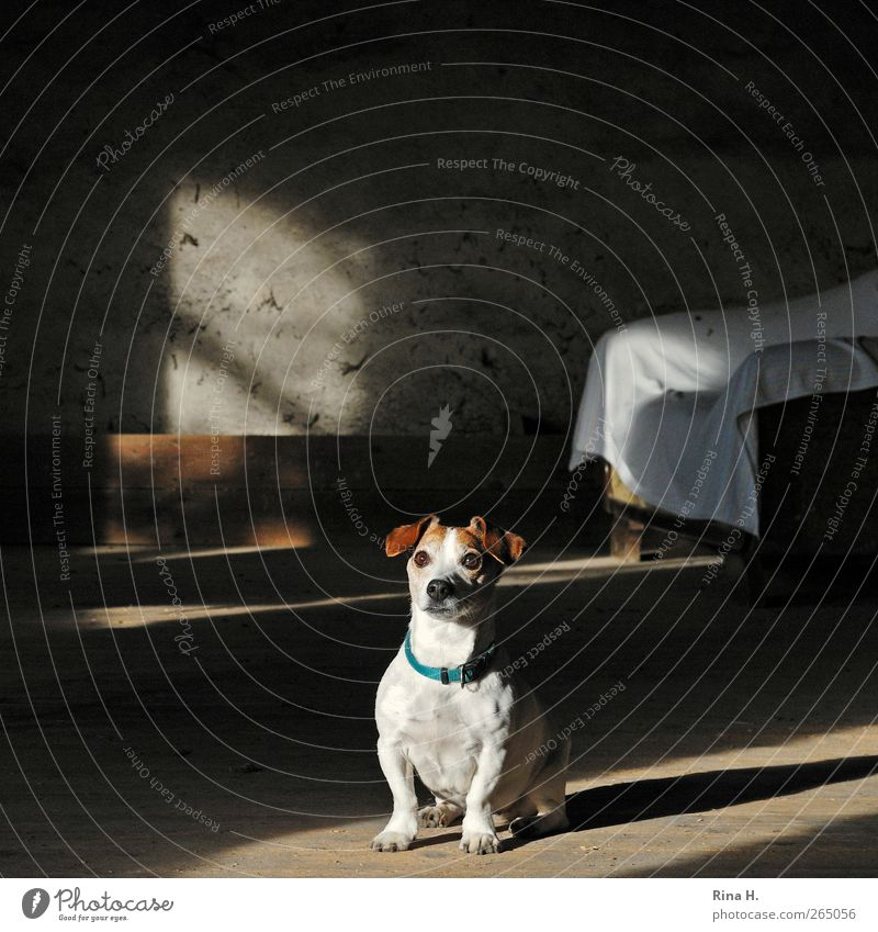 Dog Animal Wait Sit Sofa Surprise Pet Wooden floor Sympathy Jack Russell terrier Hayloft