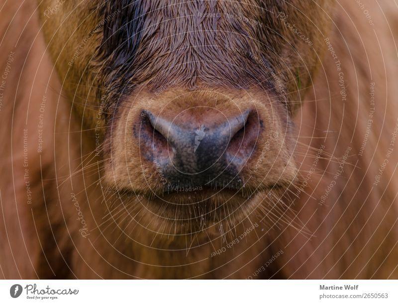 stubbles Environment Nature Animal Farm animal Animal face Cow Calf Brown Beautiful Europe Gorß Great Britain Scotland Muzzle Nose Beard hair Stubble Unshaven