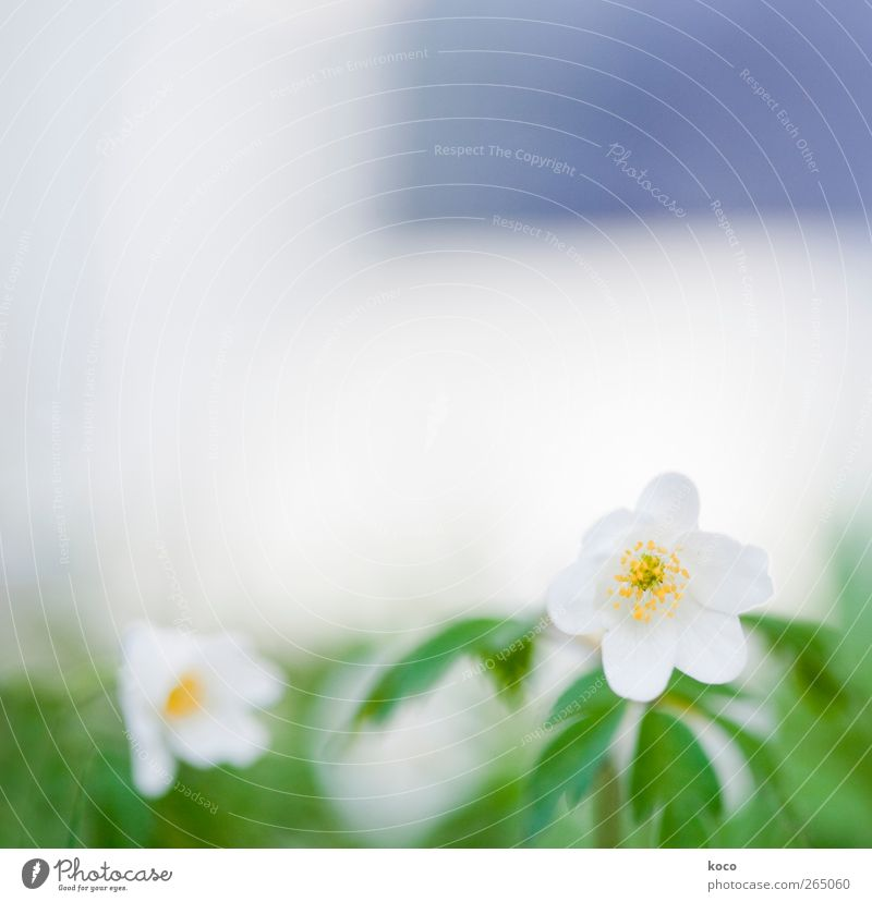 snow white Environment Nature Plant Spring Beautiful weather Flower Leaf Blossom Wood anemone Blossoming Fragrance Faded Growth Authentic Sharp-edged Simple