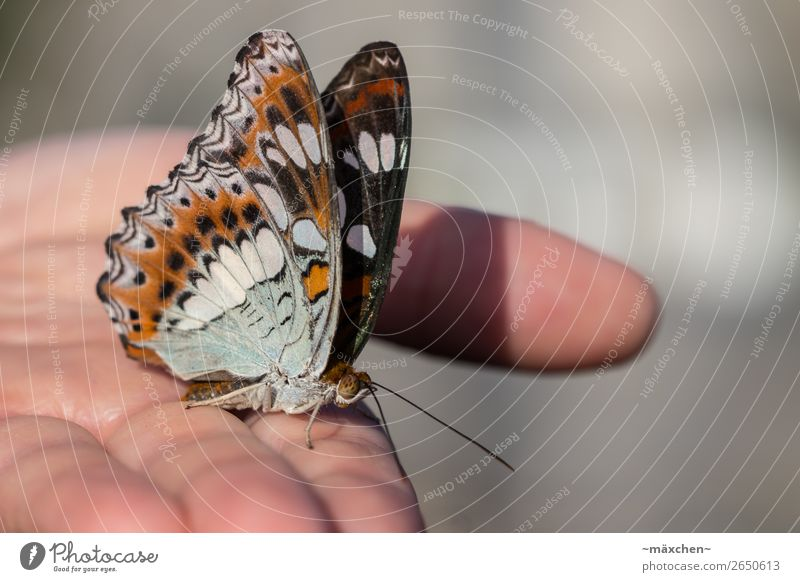 stopover Hand Nature Animal Butterfly Wing 1 Brown Multicoloured Gray Acceptance Trust Safety Safety (feeling of) Love of animals Macro (Extreme close-up) Near