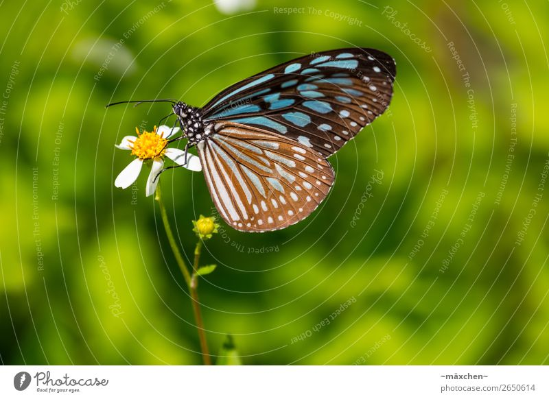 butterfly Nature Plant Animal Blossom Butterfly Wing 1 Relaxation To feed Sit Beautiful Near Blue Brown Multicoloured Green Macro (Extreme close-up) Detail
