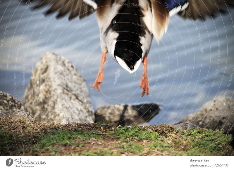 too late ... Animal Wild animal Speed Blue Multicoloured Gray Green Drake Lakeside Grass Stone Drops of water Waves Feather Wing Colour photo Exterior shot Day