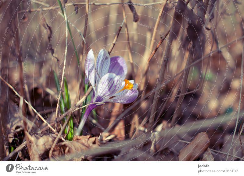 Nature White Plant Sun Flower Environment Spring Growth Illuminate Beautiful weather Violet Blossoming Joie de vivre (Vitality) Shriveled Crocus Sprout