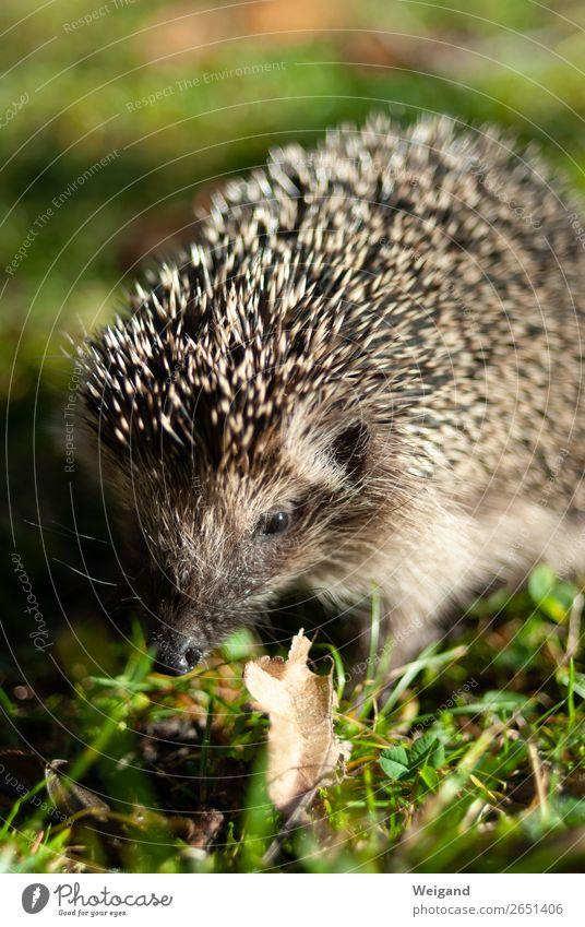hedgehogs Environment Nature Animal Garden Park Hedgehog 1 Brown Colour photo Exterior shot Shallow depth of field